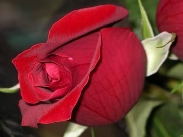 Lule dhe vetëm lule! XxHYUzKbsOtKpTQwfJ1bOBn7JGlQdWRQqWu5GUio8_aJWVFZzNqeYg==